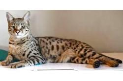 Beefmix Fisch Kätzchen-Katze